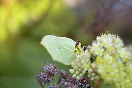 inachis: Common Brimstone butterfly on a Norwegian angelica