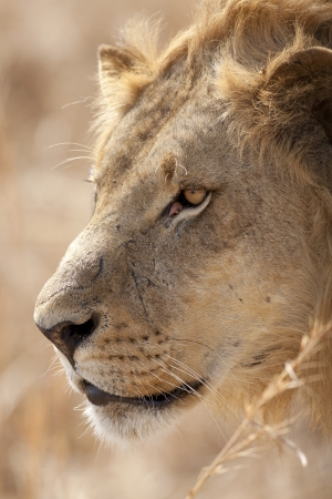 Wild lion in the African Savannah, Tanzania photo