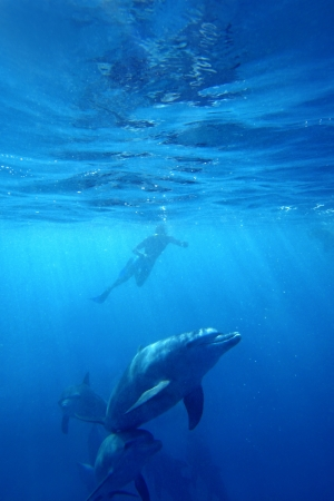 Wild Dolphins swimming in blue ocean in Zanzibar Stock Photo