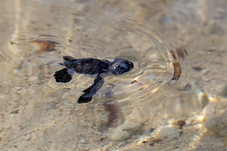 hatchling: Green Sea Turtle Hatchling making its first steps from the beach to the sea