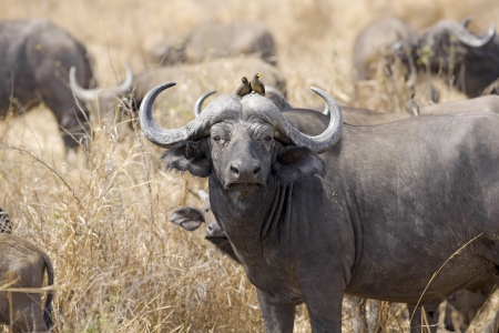 oxpecker: Wild African Buffalo with yellow-billed oxpecker in the Savannah