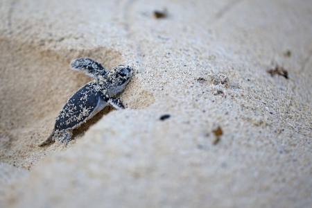 baby turtle: Green Sea Turtle Hatchling making its first steps from the beach to the sea