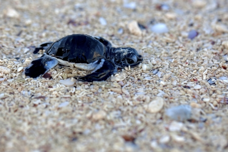 Green Sea Turtle Hatchling making its first steps from the beach to the sea photo