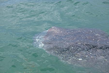 plankton: Whale Shark en agua baja visibilidad completa de plancton