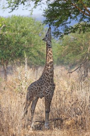 Wild Giraffe in the savannah in Mikumi, Tanzania Stock Photo