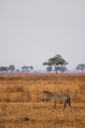 African Zebra standind in the dry savannah, Mikumi, Tanzania photo