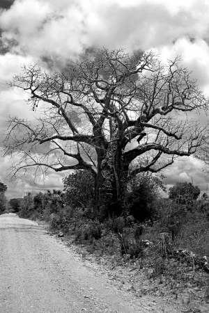Black and white picture of a Baobab tree on Mafia Island photo