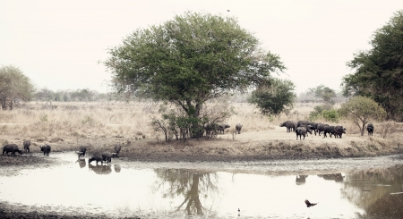 oxpecker: Wild African Buffaloes at the waterhole in the Savannah Stock Photo