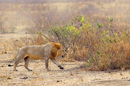 grassfield: Wild lion in the African Savannah, Tanzania