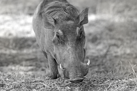 Wild warthog in the dry African savannah photo