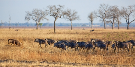 Wildebeest standing in the savannah in Mikumi, Tanzania photo