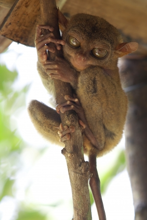 Tarsier sitting in a tree in Bohol, Philippines photo