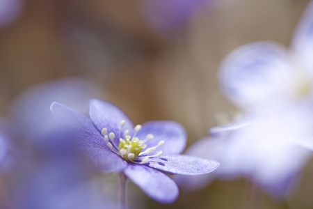 Macro picture of a Hepatica Nobilis - shallow DOF photo