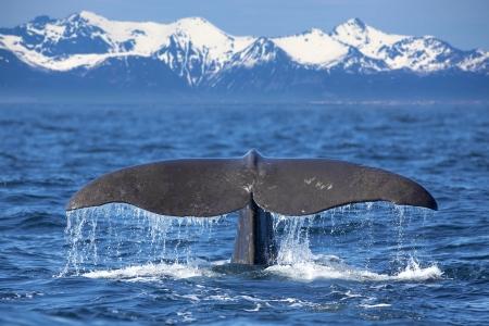 whale: La queue d'une baleine plongée de sperme Banque d'images