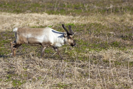 grassing: A Reindeer grassing on a meadow in Norway Stock Photo