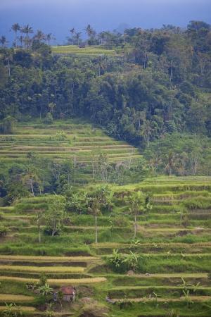paddy fields: Rice terrace fields in Bali Indonesia Stock Photo