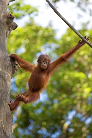orangutang: Orangutan in the jungle of Borneo, Malaysia Stock Photo