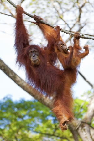 Orangutan in the jungle of Borneo, Malaysia Stock Photo
