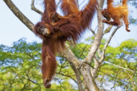 hominid: Orangutan nella giungla del Borneo, Malesia