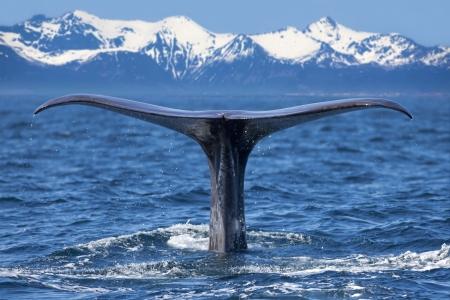 La queue d'une baleine plong?de sperme Banque d'images - 21011599