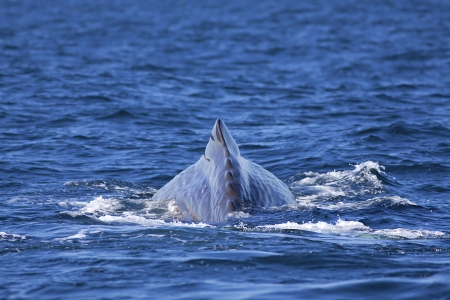 The back of a Sperm Whale in Norwegian waters photo