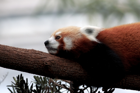 Portrait of a Red Panda sitting on a branch photo