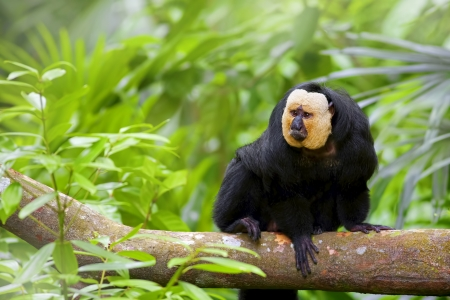 amazon rainforest: White-faced Saki Monkey sitting in the treetops Stock Photo