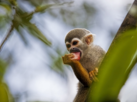 omnivores: A common squirrel monkey playing in the trees