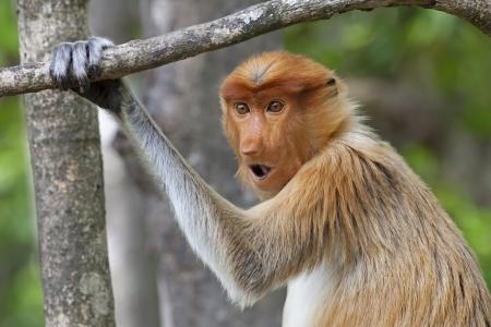 sandakan: Proboscis monkey in the mangrove in Labuk Bay, Borneo