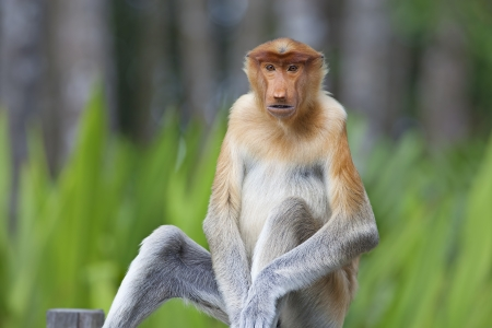 proboscis: Proboscis monkey in the mangrove in Labuk Bay, Borneo