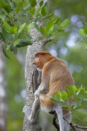 sumatra: Proboscis monkey in the mangrove in Labuk Bay, Borneo