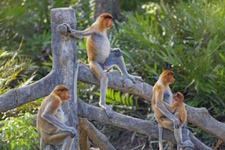 sandakan: Proboscis monkeys in the mangrove in Labuk Bay, Borneo