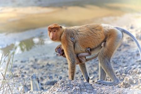 proboscis: Proboscis monkey in the mangrove in Labuk Bay, Borneo