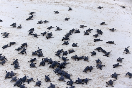 baby turtle: Turtle Hatchlings taking their first steps down the beach and into the ocean