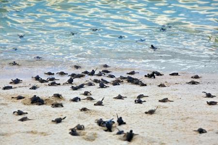 bebe gateando: Cr�as de tortugas tomando sus primeros pasos por la playa y en el mar Foto de archivo