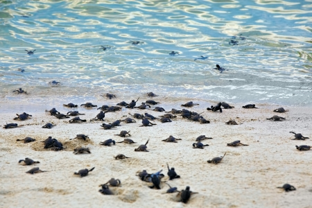 Turtle Hatchlings taking their first steps down the beach and into the ocean photo
