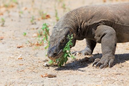 komodo island: Komodo Dragon walking in the wild on Komodo Island