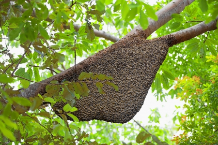 beehive: Large natural beehive hanging from a tree