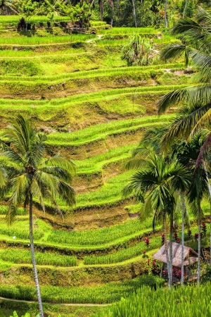 tegalalang: Tegalalang rice terrace fields in Bali Indonesia