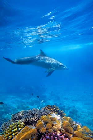 Wild Dolphin and corals in blue ocean of Zanzibar