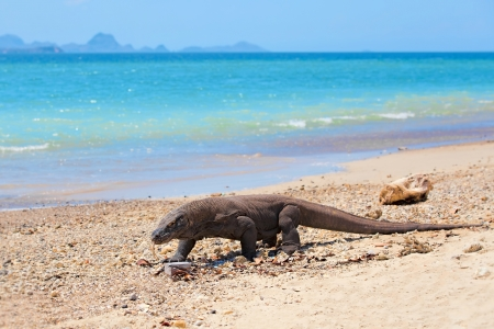 Komodo Dragon walking at the beach on Komodo Island Stock Photo