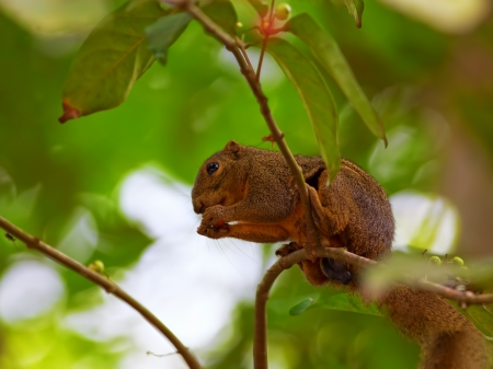 Red Squirrel sitting on a branch eating photo