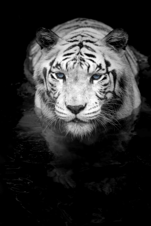 growling: Black and white portrait of a White Tiger