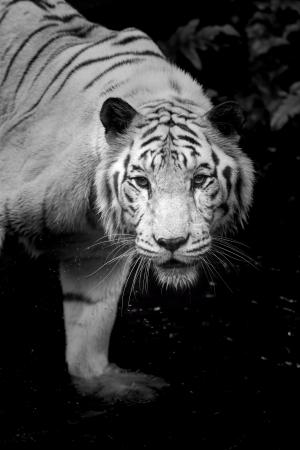 tigre blanc: Portrait noir et blanc d'un tigre blanc