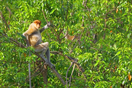 sandakan: Proboscis monkey in the mangrove in Labuk Bay, Borneo