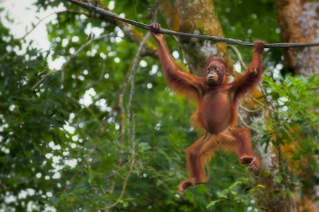 monkey on a tree: Orangutan in the jungle of Borneo, Malaysia Stock Photo