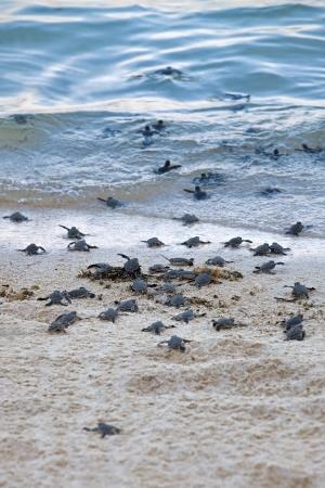 ビーチと海にその最初のステップを取ってカメの孵化