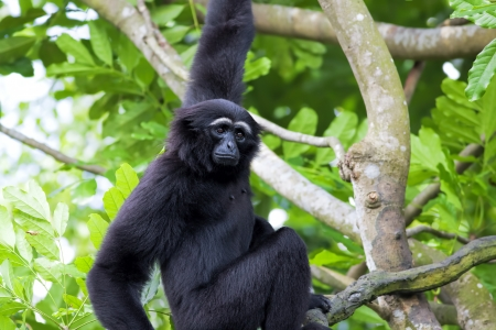 gibbon: Siamang Gibbon hanging in the trees in Malaysia Stock Photo