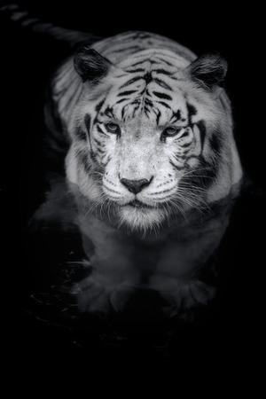 tigresa: Retrato en blanco y negro de un tigre blanco