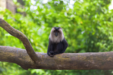 tailed: Lion-tailed Macaque sitting on a branch in the jungle Stock Photo